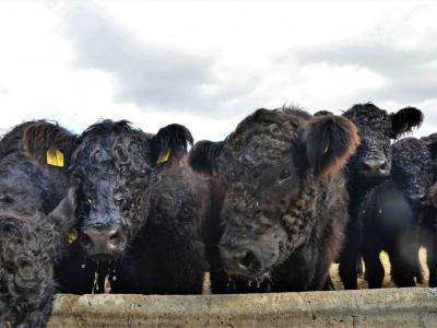 94 чистокръвни говеда от породата  Галуей  пристигнаха от Германия в Учебно-опитното стопанство на Тракийски университет – Стара Загора